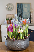 Tulips and grape hyacinths planted in metal bowl