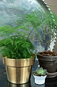 Asparagus fern in gold pot, succulent and toromiro