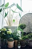 Sammlung verschiedener Grünpflanzen vor dem Fenster