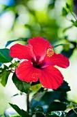 Deep pink hibiscus flower