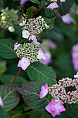 Pink-flowering hydrangea 'Twist and shout' in garden