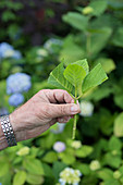 Hand holding trimmed hydrangea sprig (to propagate from cutting)