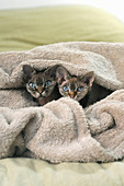Two cats cuddling up under blanket on double bed