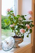 Pink geranium planted in soup tureen on windowsill