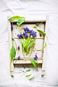 Arrangement of grape hyacinths and ramsons leaves in old wooden frame