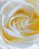 White rose (close up)