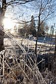 Frosty grasses in wintry landscape