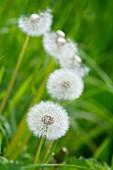 Pusteblumen auf grüner Wiese