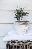 Tiny olive tree in white weathered pot