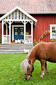 Pony on lawn in autumnal garden of Falu-red Swedish house