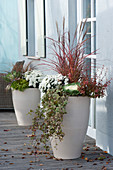 Tall white planters with autumn plants, Chrysanthemum indicum