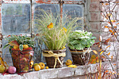Autumn at the stable window, Carex comans (sedge) and Brassica