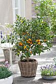 Fortunella japonica (golden orange) in the basket
