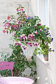 Fuchsia Bella Fuchsia 'Nora', 'Lydia' (Fuchsia) and Torenia