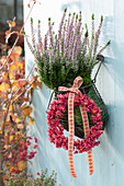 Calluna vulgaris Garden Girls 'Rosita' (bud heather, broom heath)