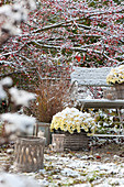 The first snow in the garden, Chrysanthemum multiflora