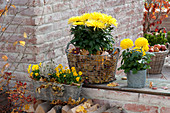 Chrysanthemum grandiflorum (Deco chrysanthemum), wire basket