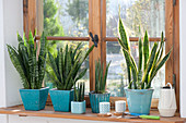 Sansevieria trifasciata and cylindrica in turquoise pots