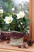 Helleborus niger (Christmas rose) in felt pot, with wreath of twigs