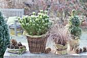 Pinus mugo mughus, Carex 'bronze form'