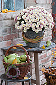 Chrysanthemum multiflora 'Kiwhite' (autumn chrysanthemum), basket