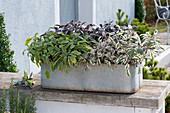 Zinc box planted with different kinds of sage: