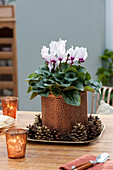 Cyclamen persicum in copper pot on bowl with cones