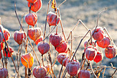 Frozen fruit stands of Physalis alkekengi (Lampion flower)