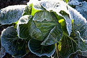 Brassica rapa (white cabbage, cabbage) with rime