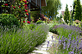 Path made of natural stone leads between flower beds with lavandula