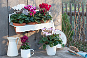 Pot arrangement with Cyclamen persicum in clay pots