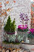 Calluna vulgaris (broom heath, bud heather), Cyclamen persicum