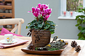 Cyclamen persicum (cyclamen) in copper pot