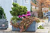 Gray box with autumn plant Pinus mugo mughus
