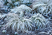 Carex comans 'Frosted Curls' (New Zealand sedge) in hoarfrost