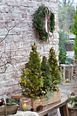 Wooden box with Picea glauca 'Conica' with fairy lights