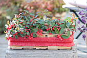Gaultheria procumbens 'Winterpearls' (Spider berry) in the Spank basket