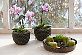 Pots with Phalaenopsis (Malayan flower, butterfly orchid)