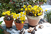 Pots with Eranthis hyemalis (winter aconite), snow