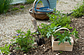 Plant young Tagetes (marigold) plants in beet