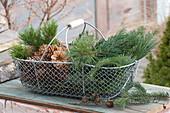 Drahtkorb mit Zweigen von Pinus ( Kiefer ), Abies ( Tanne ) und Zapfen