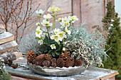Helleborus niger, Salvia officinalis 'Tricolor'