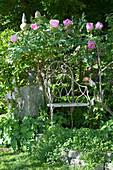 Paeonia suffruticosa (shrub peony, woody peony)