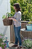 Planting basket with tomato and nasturtium