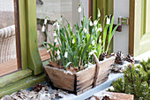 Wooden basket with Galanthus nivalis with some snow