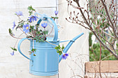 Anemone blanda, hung in blue watering can