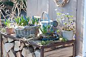 Muscari (grape hyacinth) and anemone blanda (spring anemone)