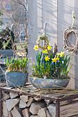 Narcissus 'Tete A Tete' (Narcissus), Muscari (Grape Hyacinth)