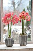 Hippeastrum (Amaryllis) in gray pots on the windowsill