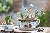 Anemone blanda (Arctic violet) and muscari (grape hyacinth)